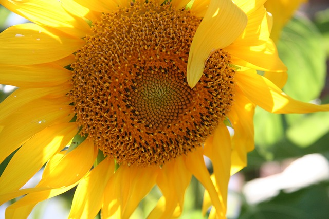 sunflower-1009291_640